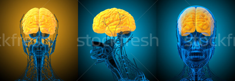 3D medycznych ilustracja mózgu Zdjęcia stock © maya2008