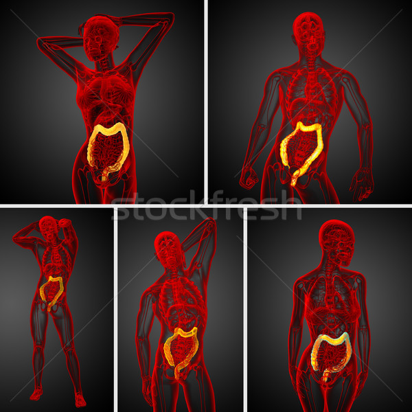 3d rendering human digestive system large intestine Stock photo © maya2008