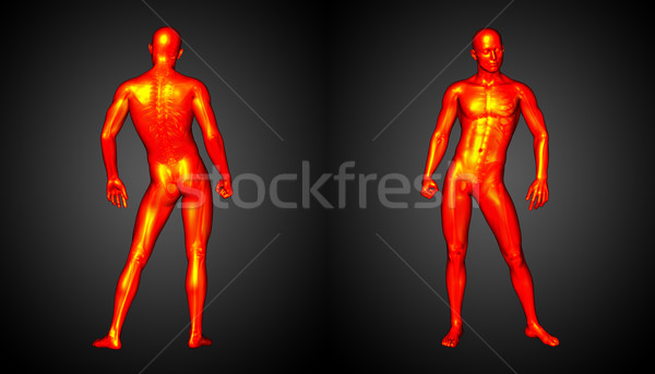 3d rendering illustration of the human anatomy Stock photo © maya2008