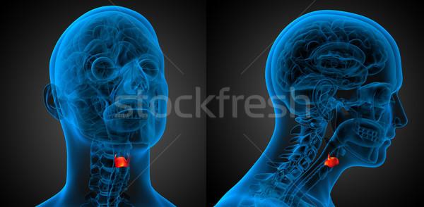 3D medische illustratie strottehoofd Stockfoto © maya2008