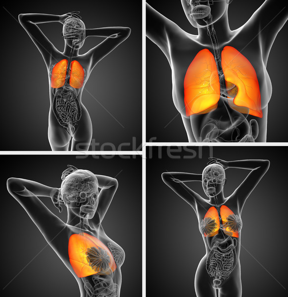 3d rendering medical illustration of the human lung  Stock photo © maya2008