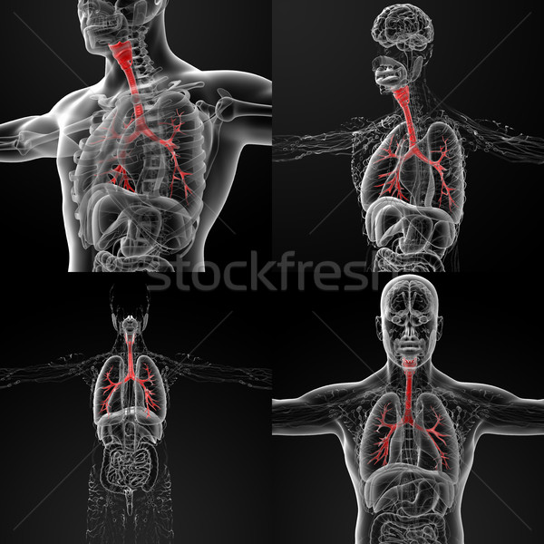 3D rendering illustration of the male bronchi  Stock photo © maya2008