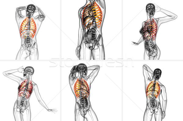 3d rendering medical illustration of the ribcage  Stock photo © maya2008