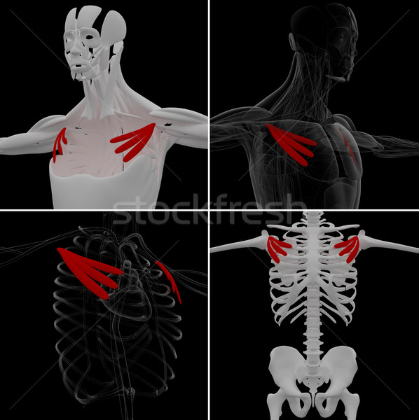 medical illustration of the pectoralis minor Stock photo © maya2008
