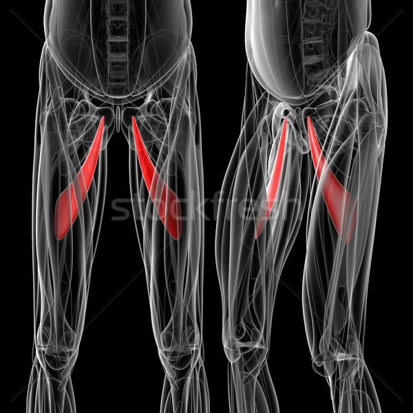 medical  illustration of the adductor longus Stock photo © maya2008