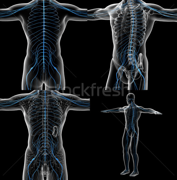 3d rendering illustration of the male nervous system Stock photo © maya2008