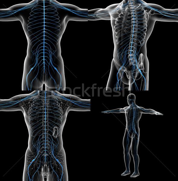 3D ilustração masculino sistema nervoso Foto stock © maya2008