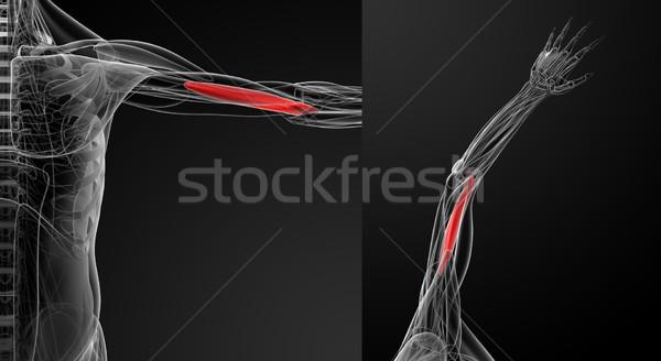 medical  illustration of the  brachialis Stock photo © maya2008