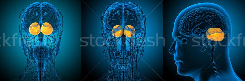 3D médico ilustração cérebro humano Foto stock © maya2008