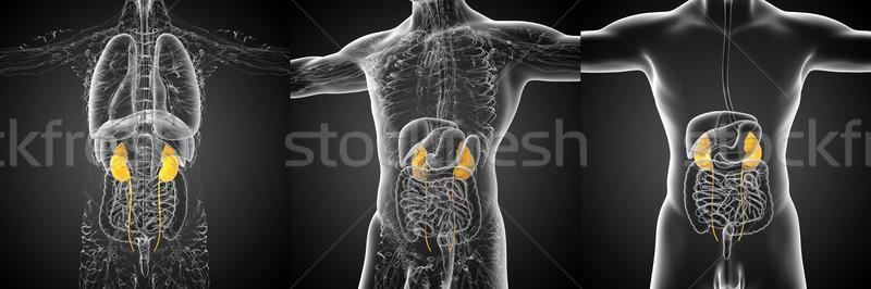 Stock fotó: 3D · renderelt · kép · orvosi · illusztráció · emberi · vese