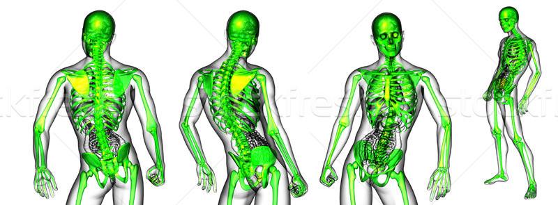 3D medische illustratie skelet Stockfoto © maya2008