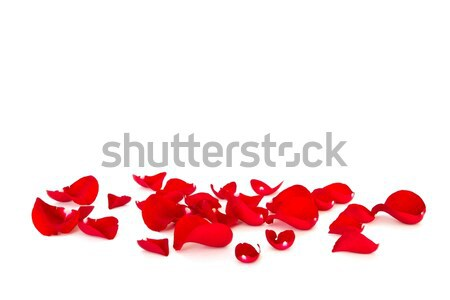 petals of rose Stock photo © mblach