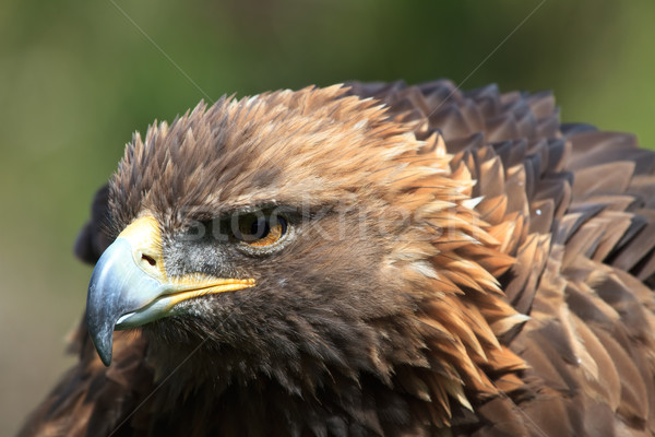golden eagle Stock photo © mblach