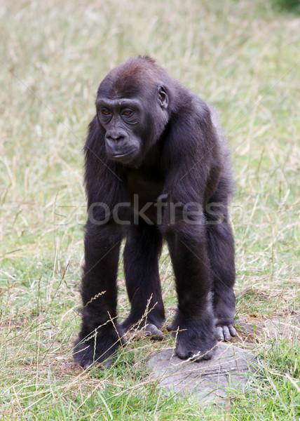 Gorila bebé mono animales África rey Foto stock © mblach