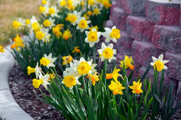Zdjęcia stock: Wiosennych · kwiatów · żółty · wcześnie · wiosną · ogród · tle