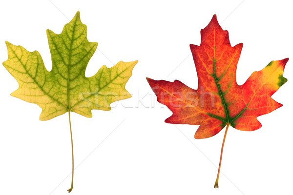 fall leaf Stock photo © mblach