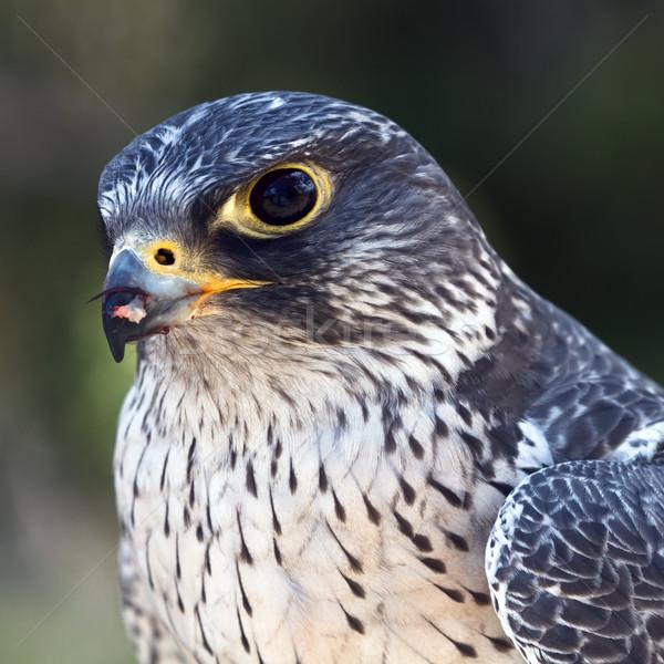 Falcão retrato natureza pássaro alimentação perfil Foto stock © mblach