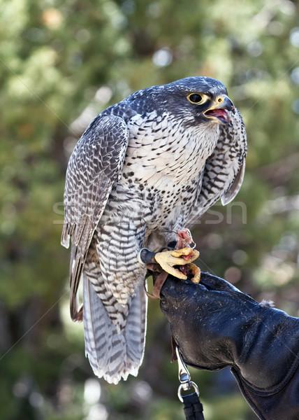 Falcão pássaro natureza alimentação perfil Foto stock © mblach