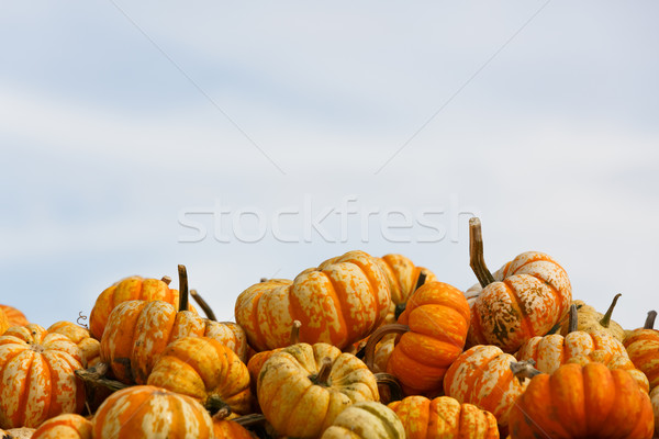 pumpkin patch Stock photo © mblach
