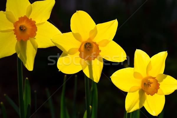 Sarı bahar çiçek bahçe güzellik dekorasyon Stok fotoğraf © mblach