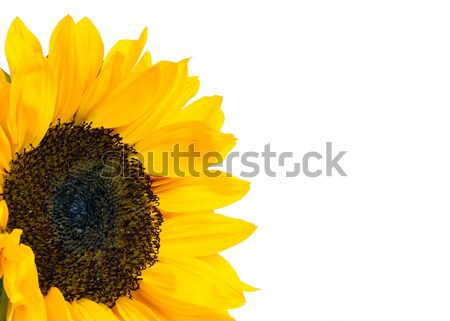 sunflower Stock photo © mblach