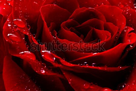 Rose Red gouttes d'eau fleur nature anniversaire Photo stock © mblach