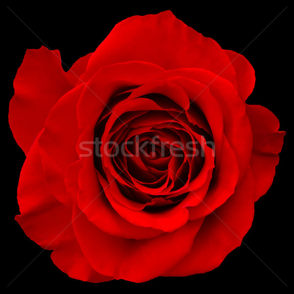 red rose Stock photo © mblach