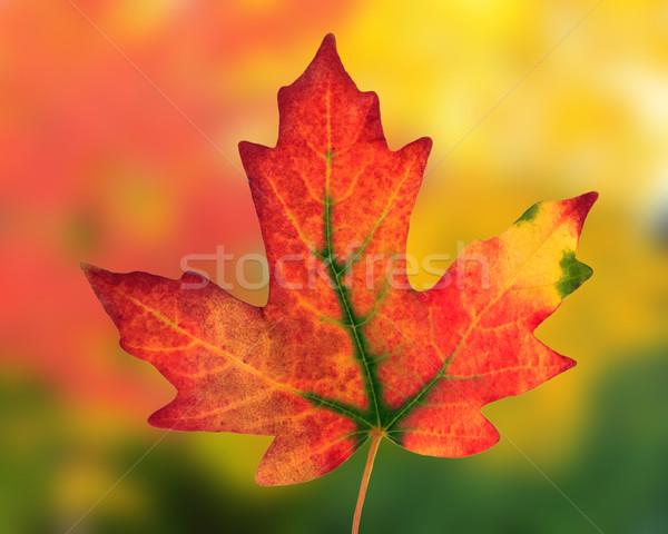 Vallen blad kleurrijk oranje Rood najaar Stockfoto © mblach