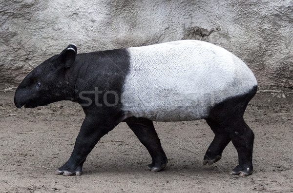 Stock photo: The male tapir runs along the trail to the waterhole.