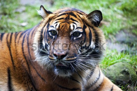 Muzzle Tiger closeup Tiger lying down and looking to the forest. Large fangs jaws large, bright coat Stock photo © mcherevan
