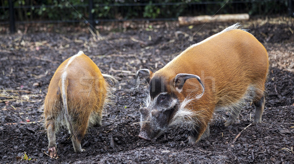 Family of pigs closeup.Large male bush pigs looking for edible roots going into the ground. Stock photo © mcherevan