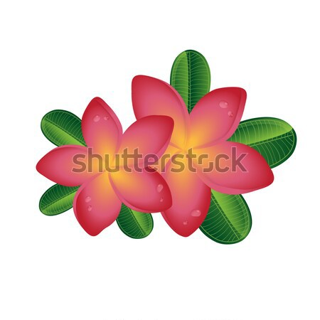 Pink Plumeria  frangipany flowers with leaves isolated on white background Stock photo © mcherevan