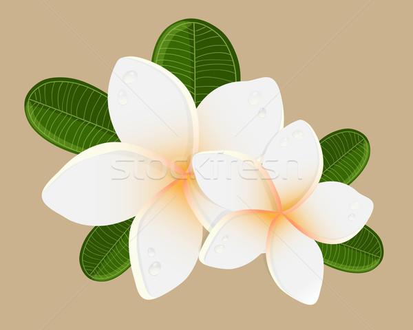 Vector illustration of white Two Frangipani flowers Stock photo © mcherevan