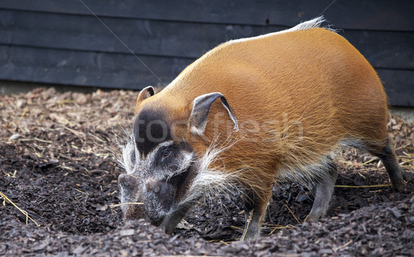 Large male bush pigs looking for edible roots going into the ground. Stock photo © mcherevan