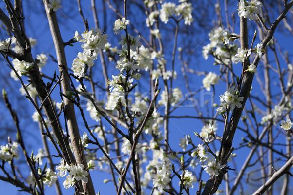リンゴの木 支店 青空 多くの 花 ストックフォト © mcherevan