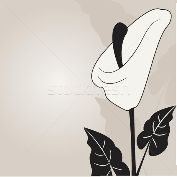 Vector illustration of calla lilies Stock photo © mcherevan