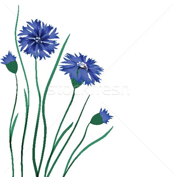 Piękna niebieski chaber odizolowany biały wiosną Zdjęcia stock © mcherevan