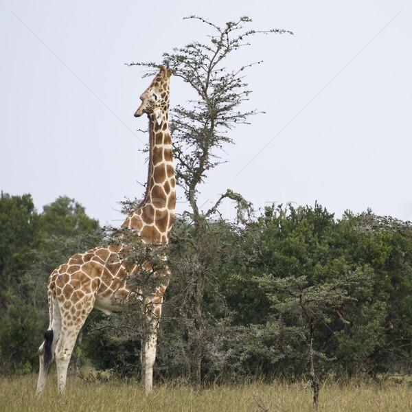 Zürafa cumhuriyet Kenya hayvan Stok fotoğraf © mdfiles