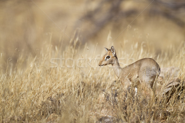 Kicsi tartalék Kenya fű állat fókusz Stock fotó © mdfiles