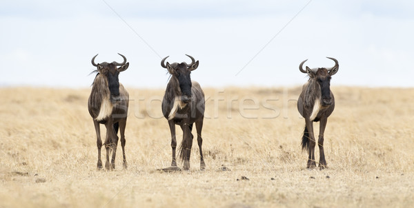 üç cumhuriyet Kenya doğa hayvan ufuk Stok fotoğraf © mdfiles