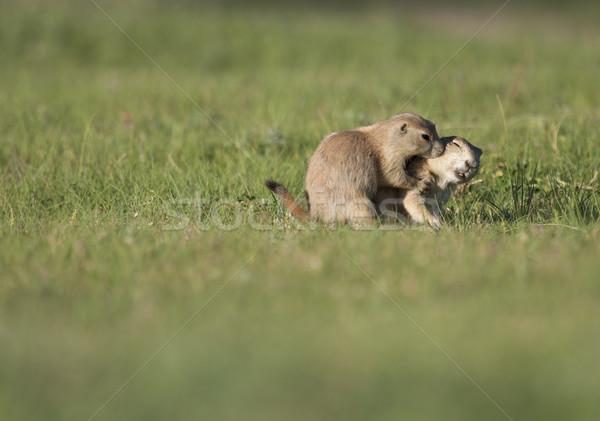 Iki kır köpekler özel an sığ Stok fotoğraf © mdfiles