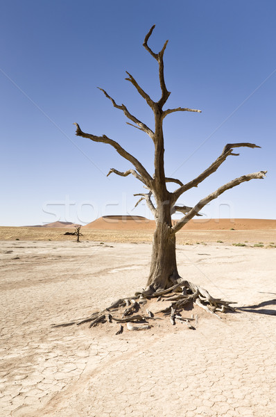 ölü ağaç çöl Namibya Afrika ağaç manzara Stok fotoğraf © mdfiles