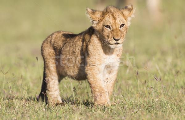 Aslan rezerv Kenya hayvan yatay Stok fotoğraf © mdfiles