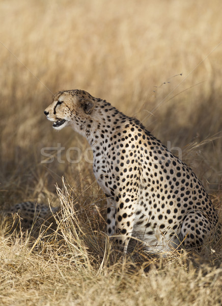 Gepárd ül citromsárga fű tartalék Kenya Stock fotó © mdfiles
