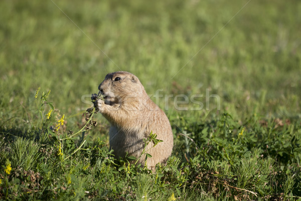 Prairie dog Stock photo © mdfiles