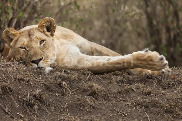 共和国 ケニア アフリカ ライオン 女性 ストックフォト © mdfiles