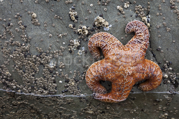Roxo mar estrela starfish costa Washington Foto stock © mdfiles
