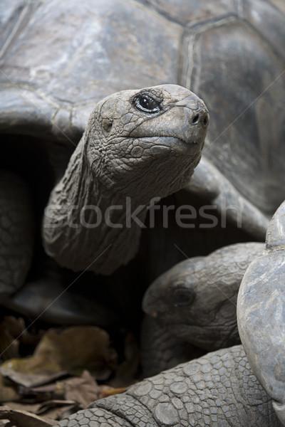 Dev kaplumbağa iki Seyşeller Hint okyanus Stok fotoğraf © mdfiles