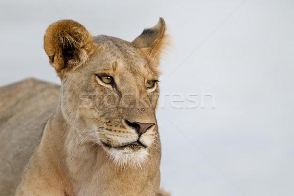 Dumny wieczór świetle rezerwa Kenia portret Zdjęcia stock © mdfiles