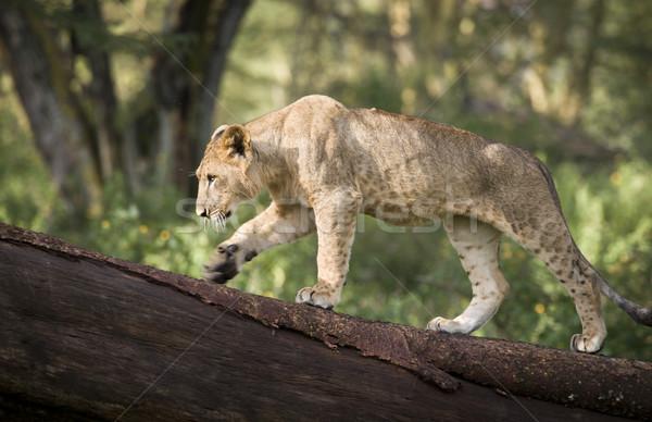 Oroszlán medvebocs fa tó park Kenya Stock fotó © mdfiles